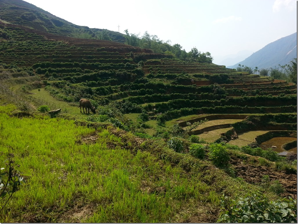 Water buff and rice terraces in Sapa.
