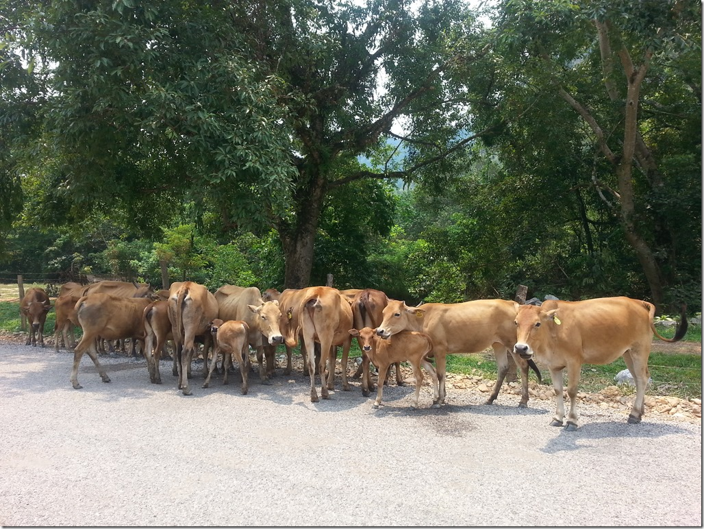 Laotian cows doing Laotian cow thangs.