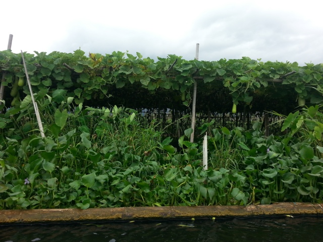 Floating garden on Inle Lake. Those are eggplants. Also notice the green tomatoes floating in the water.